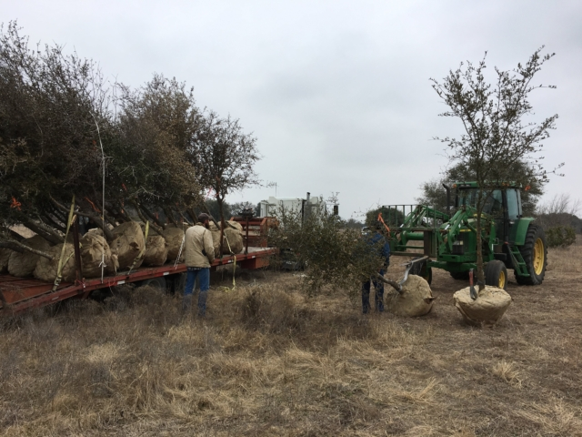 Trees going on the trailer